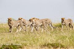 Five Cheetah Brothers (mayekarulhas) Tags: narok riftvalleyprovince kenya ke cheetah masaimara africa animal canon canon500mm canon1dxmark2 wildlife wild carnivores cats bigcats