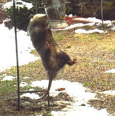 best try (Hayseed52) Tags: opossum besttry virginia mammal wildlife animal