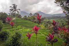 (kuuan) Tags: manualfocus mf voigtländer15mm cvf4515mm 15mm bali indonesia sonynex5n riceterace jatiliwuh tabanan view mountbatukaro