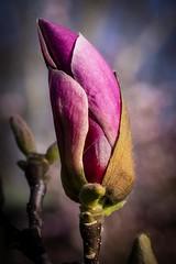 Pink Lady (wowafo) Tags: sonyalpha6000 wilhelmastuttgart blüte blossom bloom pink nature natur magnolia magnolien