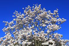 Magnolia Blossom (zeity121) Tags: sheffield yorkshire botanicalgardens flower blossom spring bluesky