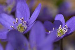 Leberblümchen (Ernst_P.) Tags: absam aut österreich tirol pflanze blume blüte leberblümchen frühling sigma f28 macro 105mm flor primavera spring