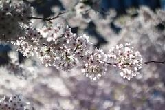あはれ花びらながれ      Helios 44-2  58mm  F 2.0 (情事針寸II) Tags: printemps spring 春 クローズアップ 自然 花 桜 nature closeup bokeh oldrussianlens fleur flower cerisier cherryblossoms helios44258mmf20