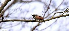 J78A0230 (M0JRA) Tags: robins birds humber ponds lakes people trees fields walks farms traylers