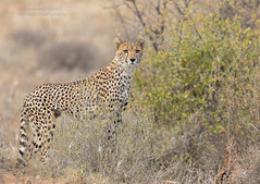 Cheetah - Acinonyx jubatus (rosebudl1959) Tags: 2019 kenya samburu elephantbedroomcamp cheetah
