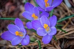 myyard2019-18 (gtxjimmy) Tags: sonya7ii sony alpha a7ii mirrorless massachusetts spring newengland flower crocus