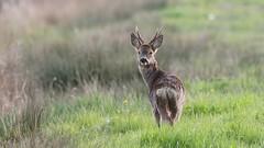 Roe buck on the levels (Cosper Wosper) Tags: deer roe buck levels