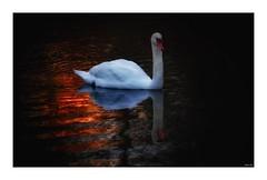 Swan at sunrise! (Nina_Ali) Tags: sunrise swan swansilhouette nature leicester bird firstlight water bradgatepark reflection shadow ninaali winter2019 nikond5500