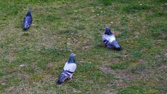Gołębie (Robert Bębenek) Tags: wiosna sprng ptaki birds