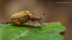 Cool Beetle 2 (strjustin) Tags: beetle bug insect macro bokeh