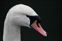 swan (haslerbryan) Tags: nature canon60d canon closeup swan ducks birds