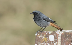 Black Redstart  (Phoenicurus ochruros). (Bob Eade) Tags: blackredstart birds wildlife avian winter nature fauna westsussex sussex
