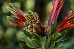D75_6767 (crispiks) Tags: nikon d750 105mm f28 micro r1c1 albury botanical gardens new south wales