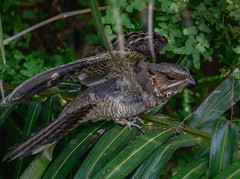 It's not the end yet (Robert-Ang) Tags: nightjar bird animal nature wildlife chinesegarden singapore animalplanet