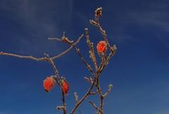 rose hip (kadege59) Tags: wow nature canon canonpowershotsx230hs outside blue sky