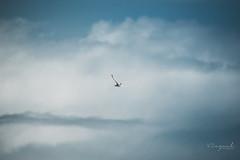 Heureux paille-en-queue (viezuel974) Tags: pailleenqueue oiseau oiseaux birds bird 974 réunion iledelareunion iledelaréunion nuage ciel sky cloud bleu bruit lumix