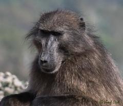Bärenpavian (bei Kapstadt) (naturgucker.de) Tags: ngidn1945868973 papioursinus bärenpavian