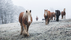 Chellow Dene (Rob A Atkins) Tags: bradford england unitedkingdom gb horse equine animal frost winter travel outdoor