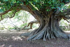 Small leaf fig (Ficus obliqua) (Poytr) Tags: ficus ficusobliqua smallleaffig fig moraceae arfp nswrfp qrfp arfstreettree princeshighway milton nsw australia plantedtree southcoast