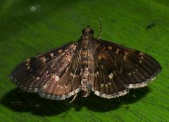Sooty Bead chain moth Syllepte sp Spilomelinae Crambidae Airlie Beach Rainforest P1050287 (Steve & Alison1) Tags: sooty bead chain moth syllepte sp spilomelinae crambidae airlie beach rainforest