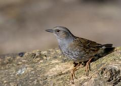 Dunnock (alderson.yvonne) Tags: song bird yvonne yvonnealderson gardenbird sweet spring uk wild