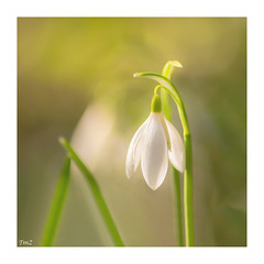Illumination !!!! (thierrymazel) Tags: perceneige galanthus bokeh pdc dof profondeurdechamp printemps spring blanc white vert green sigma 105 fleurs flowers snowdrop