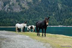 "Chevaux.... ""Lac Bious-Artigues"" (Ezzo33) Tags: cheval chevaux lac biousartigues pyrénéesatlantiques 64 france nouvelleaquitaine ezzo33 nammour ezzat sony rx10m3 mammifère animal animaux mammifères"