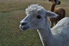 ALPACAS - Alpaga Nouvelle Zelande 2019 (10) (hube.marc) Tags: alpacas alpaga nouvelle zelande 2019 vicugna pacos