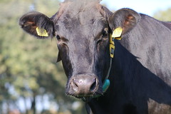 Delta Lesperron Splenda (excellentzebu1050) Tags: dairycows farm cattle cow closeup livestock dairyfarm animal animalportraits coth5