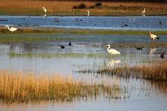 Biodiversitat (Albert T M) Tags: aiguamollsdelempordà aiguamolls marismas ardeids altempordà natura naturaleza faunasalvatge catalunya catalonia catalogne cataluña canon70300mmf456isiiusm ocells aves