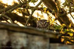 little one (budgiepaulbird) Tags: littleowl owls canon7dmark2 100400mark2 wildlifewatchingsuppliesc80 eveninglight
