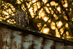 little one (budgiepaulbird) Tags: littleowl owls canon7dmark2 100400mark2 wildlifewatchingsuppliesc80 eveninglight