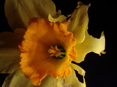 Beaten Narcissus (glyn_nelson) Tags: macro macromondays daffodil windblown damaged petals sepals yellow gold stamen anther thefirstletterofmysurname ragged torn