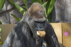 Joanne's 5th Birthday (San Diego Zoo Global) Tags: gorillas gorilla sandiegozoo zoo zooanimals cuteanimals cuteanimal wildlife nature animals cute cuddly fluffy adorable sandiego safaripark conservation environment happy fun funny primates primate gorillatroop birthday
