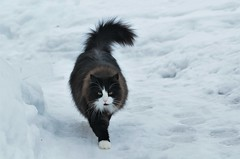 ...walk on... (KvikneFoto) Tags: cat katt bobkatt snø snow winter vinter nikon