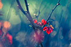 Red in Blue (Ans van de Sluis) Tags: 2019 ansvandesluis blossom bokeh bokehlicious closeup february fire flora floral macro red sun sunny winter