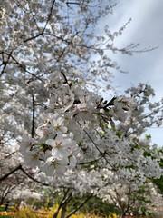 Cherry blossoms (pianoforte) Tags: dallas arboretum dallastx dallasarboretumandbotanicalgarden flowers dallasblooms spring 2019 spring2019