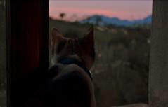 Staring at the sun(set) (giuliaph.) Tags: cat kitten gatto gattina gatta sunset pink window nikond3100 nikon kitty