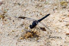 Banded Grounding, Lake Panic, Kruger National Park, Jan 2019 (roelofvdb) Tags: 2019 bandedgrounding branchythemisleucosticta date dragonanddamselflies dragonflies january knp odonata place skukuza year