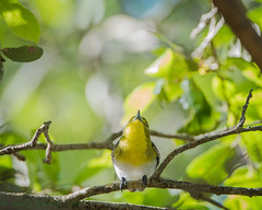 Fort De Soto Park Yellow-throated Vireo 03-29-2019 (Jerry's Wild Life) Tags: florida fortdesoto fortdesotopark ftdesoto ftdesotopark pinellascounty pinellascountypark songbird songbirds vireo vireoflavifrons ytvi yellowthroated yellowthroatedvireo