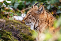 The stare (Gareth R O Dawes) Tags: goldau cantonofschwyz switzerland ch