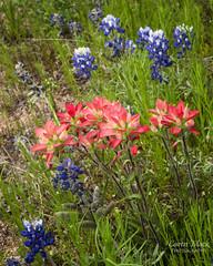 Texas Wildflowers (Caren Mack Photography) Tags: texashillcountry texas hillcountry bluebonnets wildflowers 2019 carenmack
