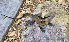 Here Be Dragons (simonmgc) Tags: easternwaterdragon intellagamalesueuriilesueurii lizard rock