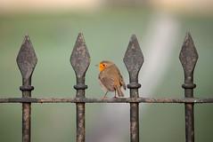 The Guardian (Paul Wrights Reserved) Tags: robin bird birds birding birdphotography birdwatching fence