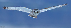 Some stare (Ted Humphreys Nature) Tags: sortearedowl owls raptors birdsofprey redators tedhumphreysnature