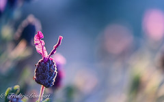 Hi ... (frederic.gombert) Tags: flower bloom blossom light color lavender pink macro plant sun morning nikon red sky blue