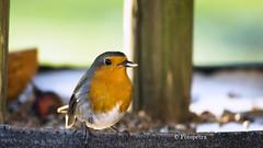 Das Rotkehlchen war auch da (petra.foto busy busy busy) Tags: rotkehlchen redrobin vogel singvogel natur winter vogelfütterung fotopetra