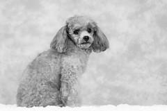 Tina-LR-DSC_2728-3 (studiofuntas) Tags: プードル トイプードル ティーカッププードル poodle toypoodle teacuppoodle モノクローム monochrome 犬 dog pet ペット ロケーション撮影 リクエスト撮影 locationphoto locationshooting