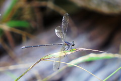 Blue (BlueMtsGrandma) Tags: damselfly