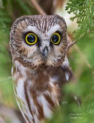 Saw Whet Owl (Jamie Lenh Photography) Tags: nature wildlife birds owls northernsawwhetowl portrait nikon tamron jamielenh